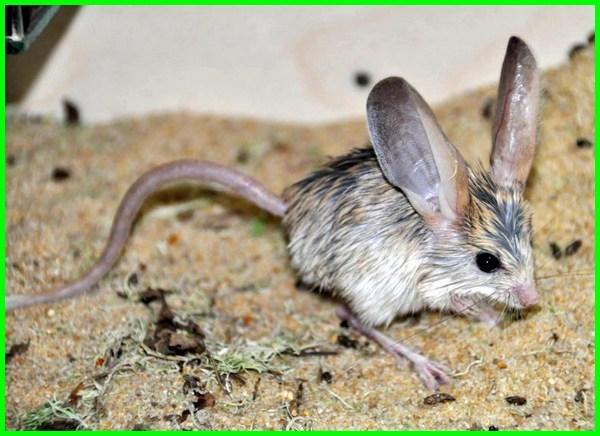 hewan telinga panjang, hewan telinga besar, hewan telinga panjang dan kaki panjang, hewan telinga panjang kaki panjang, hewan telinga panjang selain kelinci, hewan berdaun telinga, hewan yang memiliki telinga besar dan suka melompat
