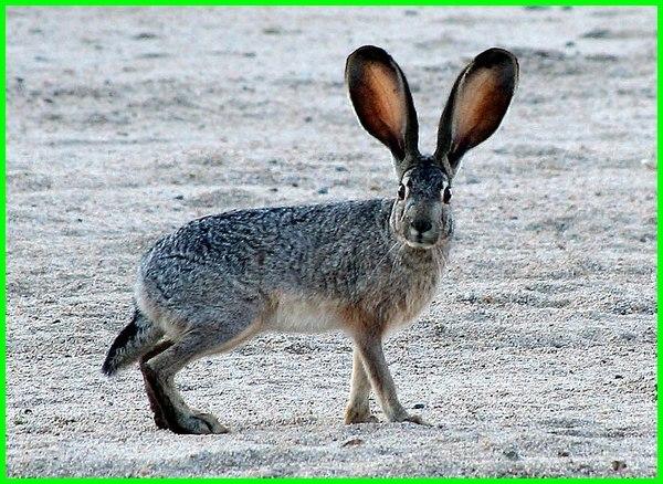 hewan telinga panjang ekor pendek, hewan telinga panjang, hewan telinga besar, hewan telinga panjang dan kaki panjang, hewan telinga panjang kaki panjang, hewan telinga panjang selain kelinci, hewan berdaun telinga, hewan yang memiliki telinga besar dan suka melompat, hewan yang berdaun telinga berkembang biak dengan cara
