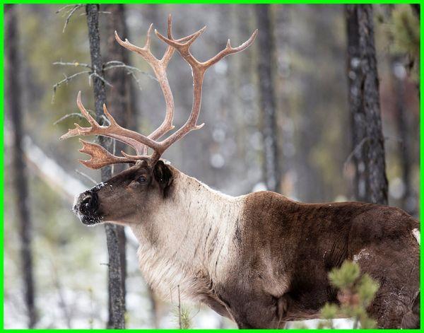 hewan zaman es yang masih hidup, hewan purba zaman es, gambar hewan zaman es, hewan yang hidup di zaman es, hewan yang hidup pada zaman es