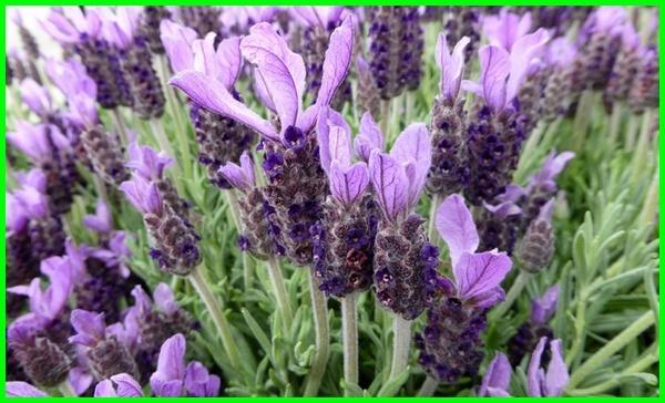 jenis lavender terbaik, jenis lavender yang wangi, jenis bunga lavender, macam jenis bunga lavender, jenis tanaman bunga lavender, jenis jenis daun lavender, jeni jenis lavender, jenis pokok lavender, semua jenis lavender