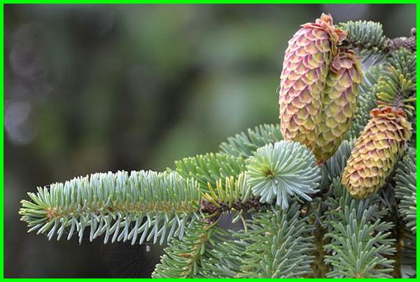 jenis pohon cemara dan gambarnya, berbagai jenis pohon cemara, berapa jenis pohon cemara, contoh jenis jenis pohon cemara, jenis pohon pinus di indonesia, jenis dan nama pohon cemara
