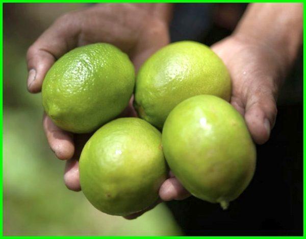 jenis jeruk lemon lokal, jenis jeruk lemon california, jenis jeruk lemon australia, jenis jeruk lemon dan gambarnya, jenis jeruk lemon impor, jenis jeruk lemon import