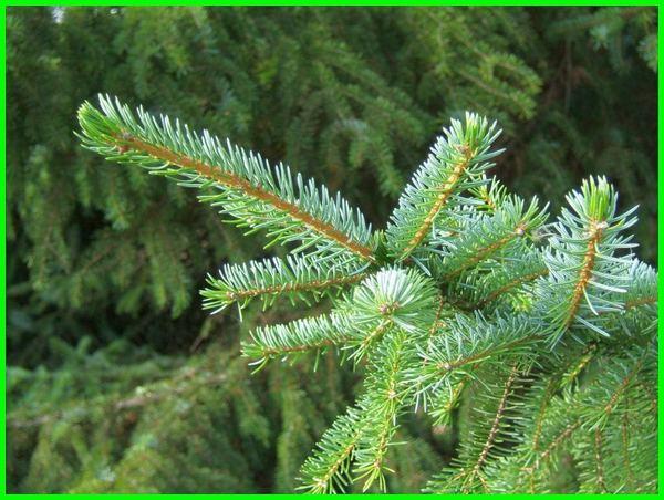jenis akar pohon cemara, berapa jenis pohon cemara, ada berapa jenis pohon cemara, nama jenis pohon cemara, jenis dan nama pohon cemara