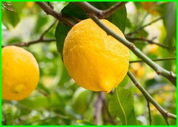 jenis bibit jeruk lemon, jenis lemon terbaik, jenis 2 jeruk nipis, gambar jenis jenis jeruk lemon, jenis-jenis jeruk lemon, jenis jeruk lemon yang mahal, jenis jeruk purut limau
