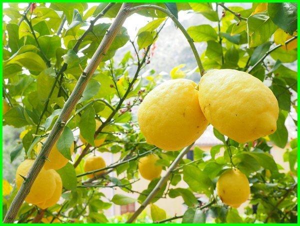 jenis jeruk lemon, macam macam jeruk lemon, macam jenis jeruk lemon, macam jenis buah lemon, macam macam jenis jeruk lemon, macam-macam jenis jeruk lemon, jenis jeruk lemon dan gambarnya, jenis jeruk lemon lokal, macam-macam jeruk lemon, jenis jeruk lemon terbaik, jenis jeruk lemon yang mahal
