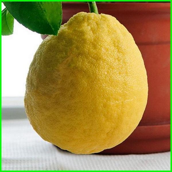jenis jeruk lemon terbaik, jenis jeruk lemon tea, jenis jeruk lemon unggul, ada berapa jenis jeruk lemon, jenis jenis jeruk lemon