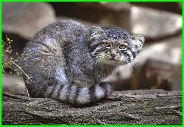 jenis kucing hutan termahal, jenis kucing hutan yang tidak dilindungi, jenis kucing liar di dunia, 8 jenis kucing hutan yang mempesona, jenis kucing hutan peliharaan, jenis kucing hutan yang bisa dipelihara, jenis kucing hutan yang dapat dipelihara