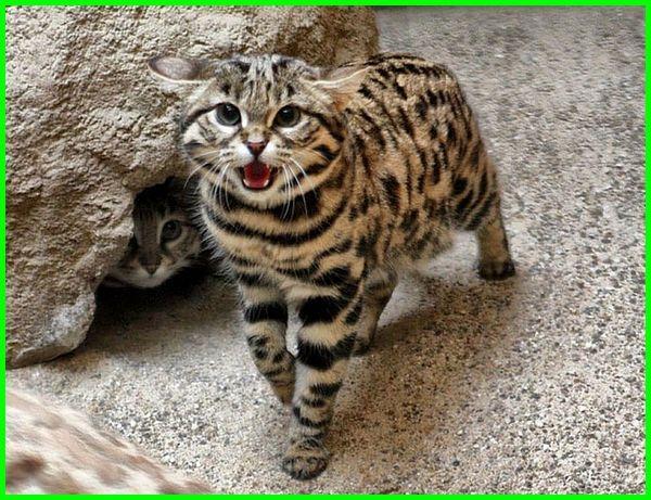 jenis kucing liar di dunia, jenis kucing hutan jinak, jenis kucing hutan yang dilindungi, jenis kucing hutan yg dilindungi, 8 jenis kucing hutan yang mempesona