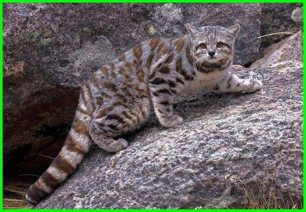 kucing jenis liar, jenis kucing liar di dunia, jenis2 kucing liar, jenis anakan kucing liar, jenis jenis kucing liar, jenis kucing liar, 17 jenis kucing liar, 10 jenis kucing liar