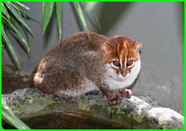 jenis anakan kucing liar, jenis kucing hutan di malaysia, jenis kucing hutan dan harganya, jenis kucing hutan yang dilindungi, jenis kucing hutan di dunia, jenis kucing hutan jinak, jenis kucing hutan malaysia, jenis kucing hutan sumatera, jenis kucing hutan termahal
