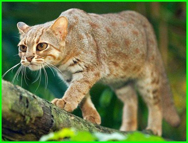 jenis kucing liar di dunia, jenis kucing liar sedunia, macam jenis kucing liar dan asal usulnya, jenis kucing liar dan gambarnya