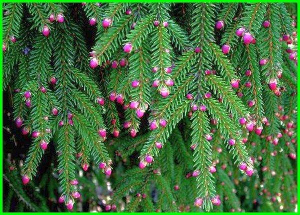 jenis pohon pinus hias, jenis jenis pohon cemara, gambar jenis jenis pohon cemara, jenis pohon pinus lengkap, nama jenis pohon cemara, jenis pohon seperti cemara, jenis tanaman pohon cemara