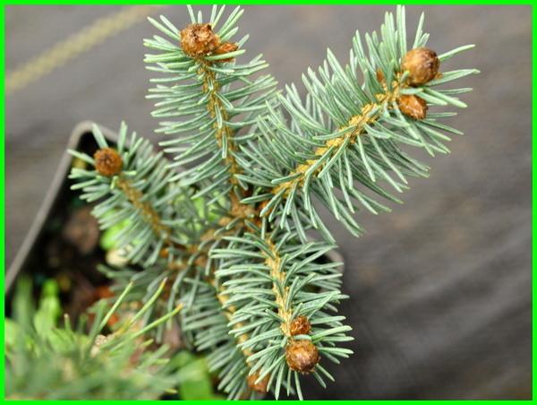 berbagai jenis pohon cemara, berapa jenis pohon cemara, contoh jenis jenis pohon cemara, jenis pohon pinus di indonesia, jenis dan nama pohon cemara, gambar dan jenis pohon cemara