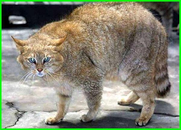 kucing liar china, kucing liar cina, 17 jenis kucing liar, 10 jenis kucing liar, jenis kucing hutan di dunia