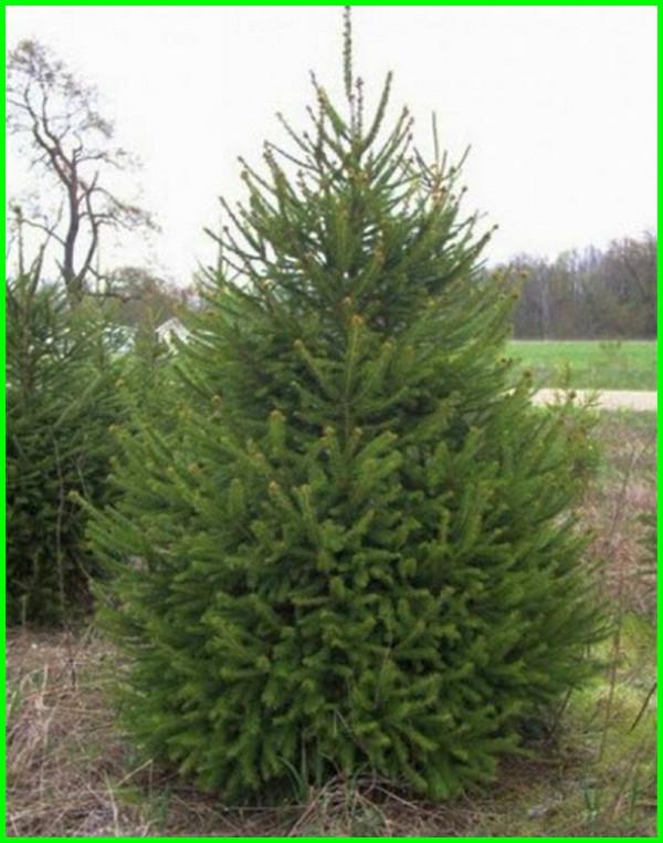jenis pohon cemara untuk natal, jenis pohon cemara bonsai, jenis pohon cemara untuk bonsai, jenis pohon cemara wangi, jenis pohon cemara hias, jenis pohon cemara yang bagus untuk bonsai, jenis pohon cemara dan gambarnya