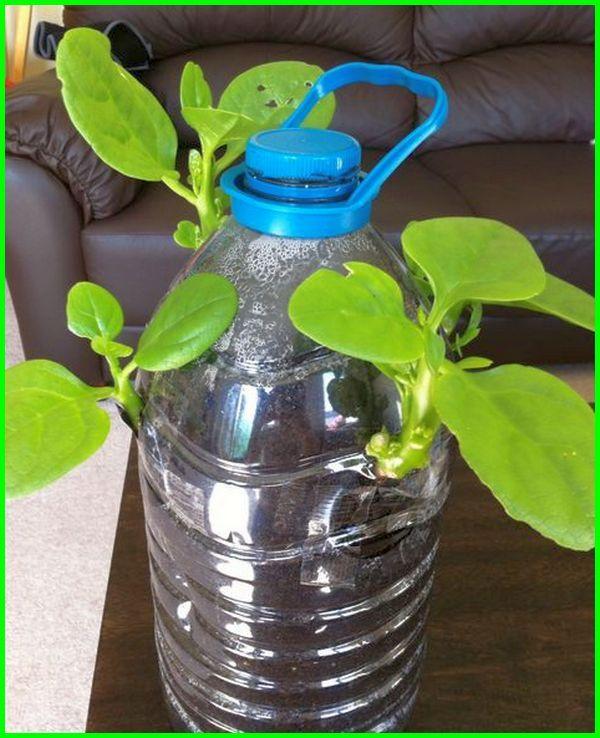 tanaman air dalam botol, tanaman air di botol, tanaman media air dalam botol, jenis tanaman air dalam botol, botol air mineral untuk tanaman