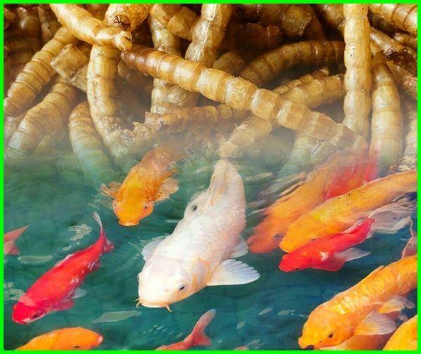 ulat hongkong untuk cupang, ulat hongkong louhan, ulat jerman dan ulat hongkong, ulat hongkong pdf, ulat hongkong untuk koi, manfaat ulat hongkong untuk pakan ikan, ikan pemakan ulat hongkong, ikan louhan makan ulat hongkong