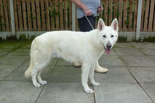 Anjing Shepherd Putih