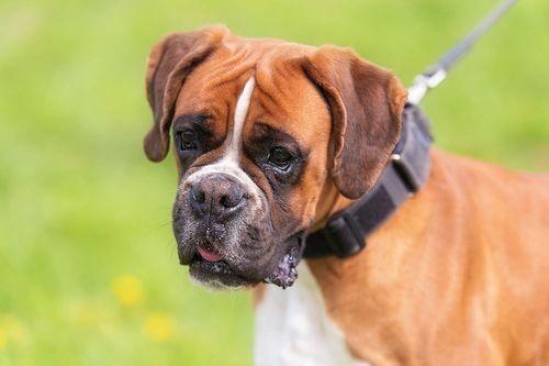Foto Anjing Boxer
