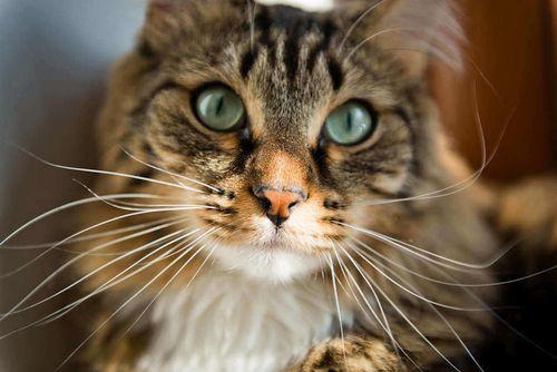 Foto Kumis Kucing