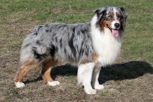 Foto anjing Australian Shepherd