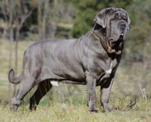 Gambar Anjing Neapolitan Mastiff