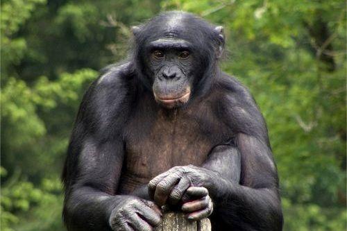 Gambar Bonobo