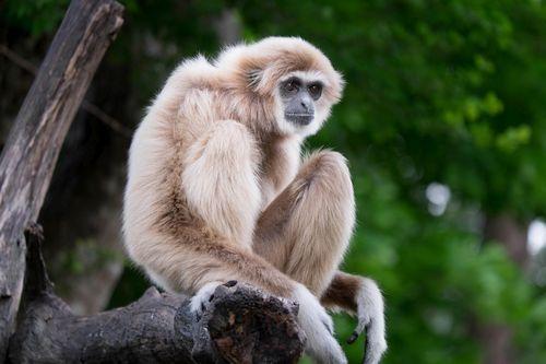 Gambar Gibbon