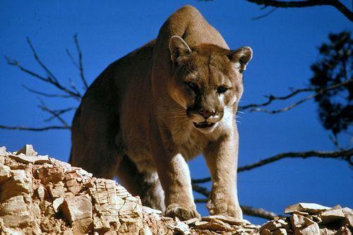 Gambar Singa gunung