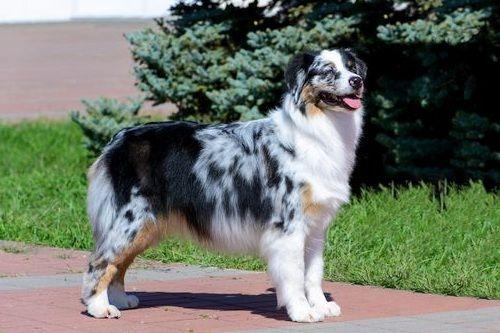 Gambar anjing Australian Shepherd