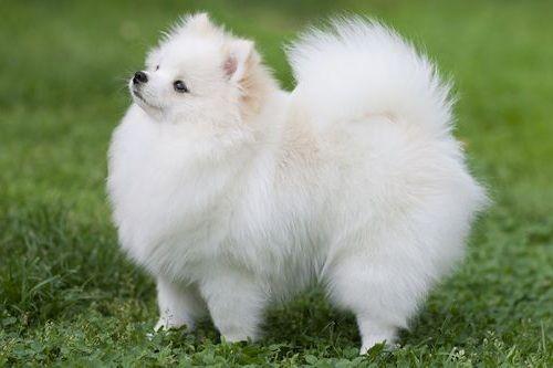 Gambar anjing Pom 1