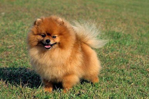 Gambar anjing Pom 2