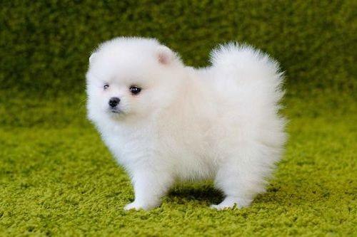 Gambar anjing Pom 3