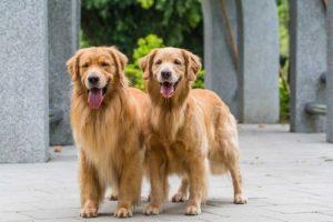 Gambar anjing golden