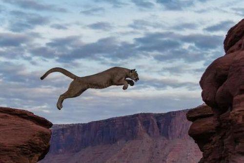 Singa Gunung