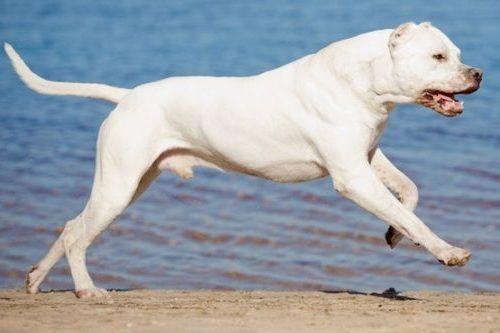 Anjing Dogo