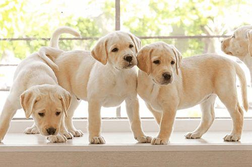 Anjing Lab