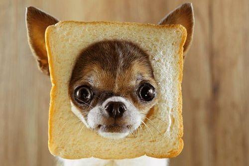 Anjing Makan Roti