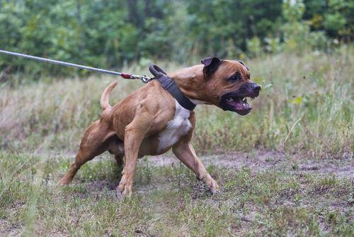 Anjing Pit Bull Petarung