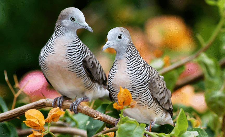 Cara Merawat Burung Perkutut Sang Pembawa Keberuntungan Dunia Fauna Hewan Binatang Tumbuhan