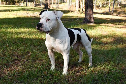 Gambar American Bulldog