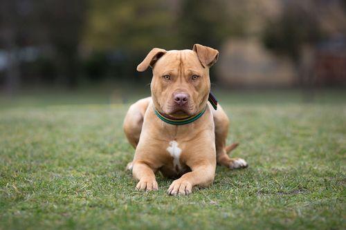 Gambar American Staffordshire Terrier