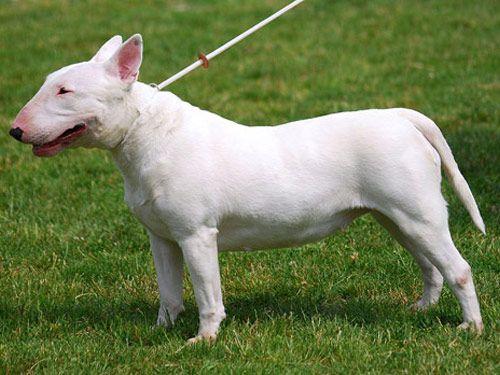 Gambar Bull Terrier
