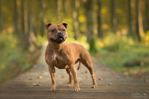 Gambar Staffordshire Bull Terrier