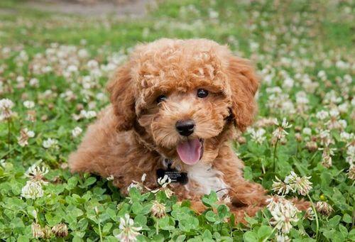 Gambar anjing Bichon Poodle