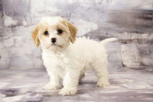 Gambar anjing Cavachon