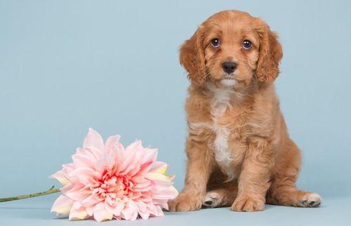 Gambar anjing Cavapoo