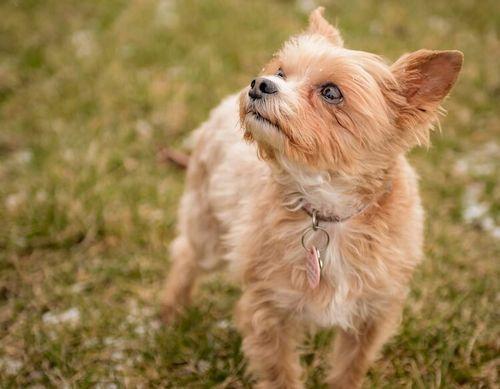 Gambar anjing Chorkie