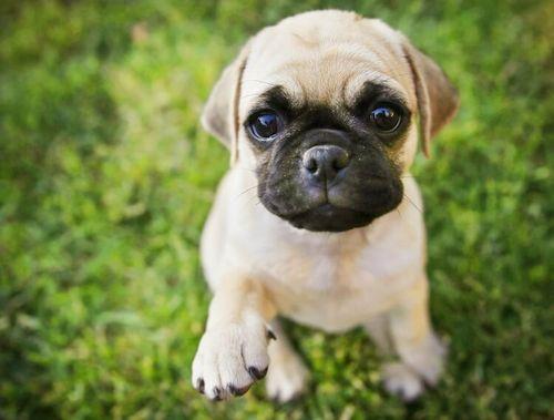 Gambar anjing Chug