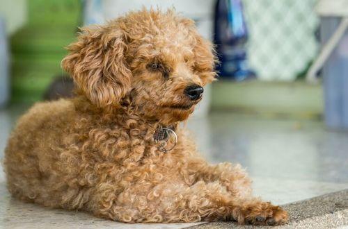 Gambar anjing Corgipoo